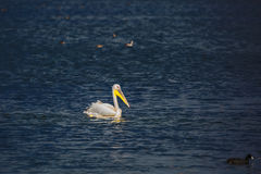 The large pelican floats in darkly blue water. Of the lake. Hula Nature Reserve, Israel, December Stock Images
