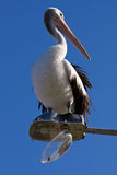 A large pelican perched on a broken street light Stock Photography