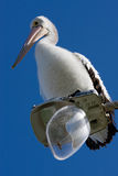 A large pelican perched on a broken street light Stock Images