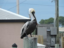 Large Pelican on a post Stock Photo