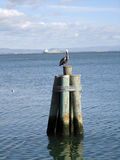 Large pelican rest on top a pier Stock Image