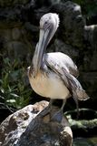 Large Pelican sitting on a rock royalty free stock photos
