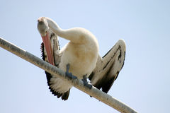 Pelican Preening Royalty Free Stock Photography