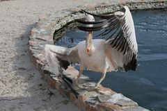 Large pelican waving its wings as if performing a fashionable mo. Dern dance near the pond Stock Images