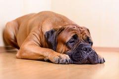 Large pet dog bullmastiff Royalty Free Stock Image