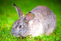 Large pet rabbit eating green grass in field Stock Photography