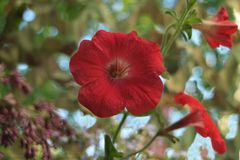 Large petals red petunia flower. Close to blurred  background stock photos