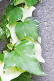 Large Philodendron plants Stock Images