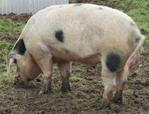Large Pig. A large farm pig forages in the mud Royalty Free Stock Image