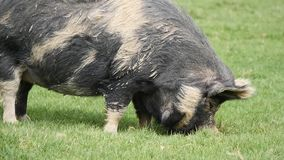 A large pig chews on grass. A large hungry pig covered in mud chews on grass stock video