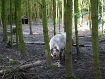 Large Pig in the Forest Royalty Free Stock Images