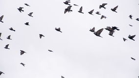 Large Pigeon Flock in the Sky stock footage