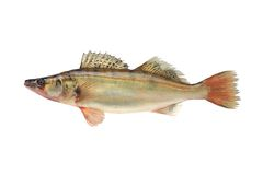 Large pike perch. Isolated on a white background Royalty Free Stock Photo