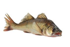 Large pike perch. Isolated on a white background Royalty Free Stock Photography