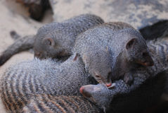 Large Pile of Dwarf Mongooses with Stripes Royalty Free Stock Image