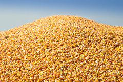 Large Pile Of Corn Stock Photo