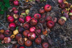 A large pile of rotten apples on the ground, the concept of a spoiled harvest stock image