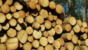 Wood large piles of cut tree trunks, round logs. Spruce forests infested and attacked by European spruce bark beetle