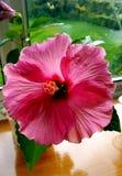 Large pimk hibiscus flower Stock Images
