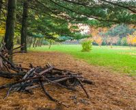 Large pine branches cut in the park.  stock image
