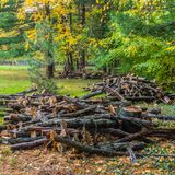 Large pine branches cut in the park.  Royalty Free Stock Image