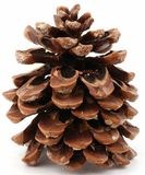 Large pine cone. With resin isolated on the white background Royalty Free Stock Photos