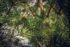 Large pine cone royalty free stock images