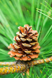 Large pine cone hanging from a branch of tree. Large pine cone hanging from a branch of pine tree on green needles background. Close-up Stock Photography