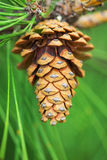 Large pine cone hanging from a branch of tree. Large pine cone hanging from a branch of pine tree on green needles background. Close-up Stock Image
