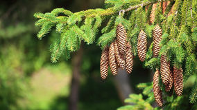 Large Pine Cones hanging on a Tree branch Stock Photography