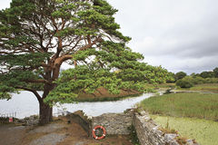 Large pine on Lough Leane Lower Lake Stock Photo