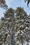 Large pine snow Stock Photo