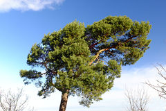Large pine tree with blue sky and clouds Stock Photos