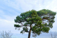 Large pine tree with blue sky and clouds Royalty Free Stock Photography