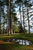 Large Pine Trees Royalty Free Stock Photo