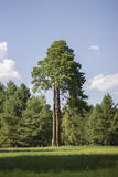 Large pine trees. Most lone pine in the meadow Stock Image