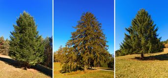 Large Pine Trees in Autumn Royalty Free Stock Photos