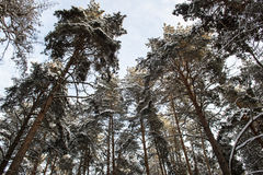 Large pine trees in the winter forest in Russia Stock Photos