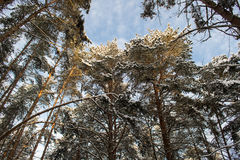 Large pine trees in the winter forest in Russia. Stock Image