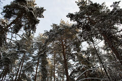 Large pine trees in the winter forest in Russia. Royalty Free Stock Images