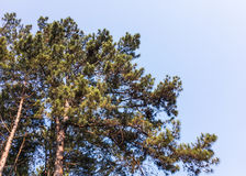 Large pine under the clear blue sky. Stock Photos