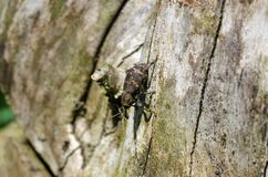 The large pine weevil on branch. Hylobius abietis with blured background. Close up stock images