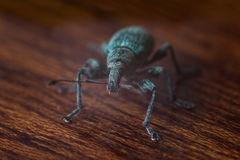 Large pine weevil crawling on furniture Stock Photos