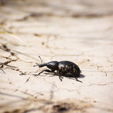 Large pine weevil (Hylobius abietis) Royalty Free Stock Images