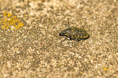 The large pine weevil. Small insect and pest of he forest royalty free stock photo