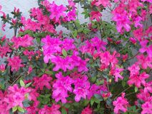 Large pink Azaleas bush in full bloom. Large bush of pink Azaleas in full bloom in February stock photography