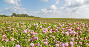 Large pink clover meadow under blue sky Stock Images