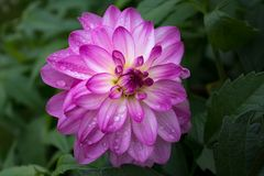 Large pink Dahlia Stock Photo