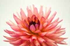 Large pink flower of the dahlia. Large pink dahlia flower with drops of water on a light background royalty free stock photography