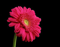 Large pink daisy on black background Stock Image